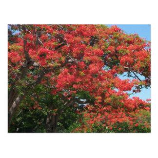 Poinciana in bloom postcard