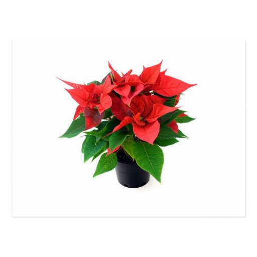 Poinsetta In The Pot Postcards