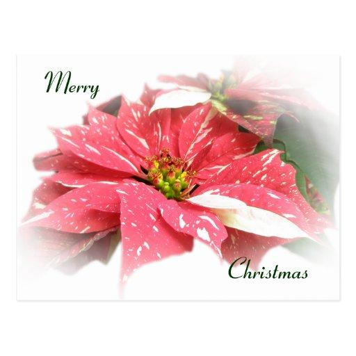 Poinsettia en rojo y blanco tarjeta postal