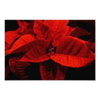 Poinsettia Art Photo