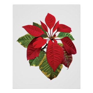 Poinsettia Plant Poster