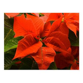 Poinsettia Post Card