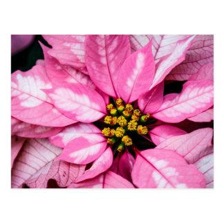 Poinsettia Postcard