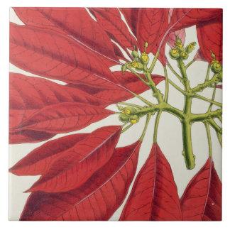 Poinsettia Pulcherrima (colour litho) Ceramic Tile