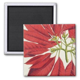Poinsettia Pulcherrima (colour litho) Magnet