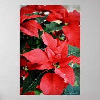 Poinsettia rojo brillante del navidad poster
