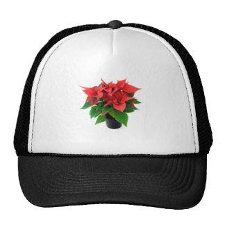 Poinsettia rojo en un fondo blanco gorras de camionero
