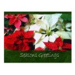 Poinsettias mezclados 1 del color - saludos de las postal