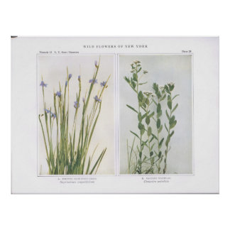 Pointed Blue-Eyed Grass & Bastard Toadflax Poster
