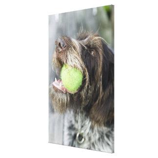 Pointer dog biting tennis ball, close-up canvas print
