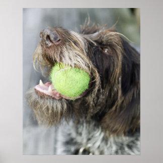 Pointer dog biting tennis ball, close-up poster