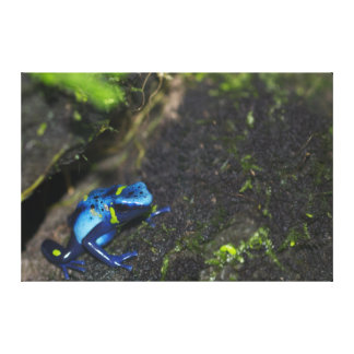 Poison Dart Frog Stretched Canvas Print