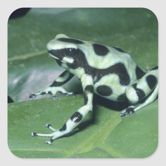 Poison Dart Frog, (Dendrobates auratus) Cahuita Square Sticker