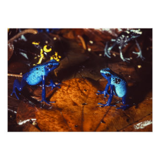 Poison Dart Frogs Poster