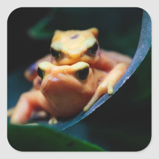 Poison Dart Frogs Square Stickers