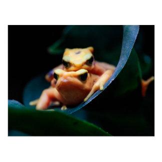 Poison Dart Frogs Wildlife Animal Photo Postcard