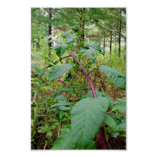 Pokeweed Poster