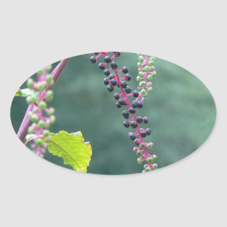Pokeweed with Ripening Berries Oval Sticker