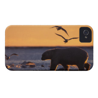 Polar bear at sunrise with glaucous-winged blackberry cases