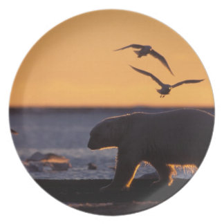 Polar bear at sunrise with glaucous-winged dinner plate