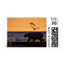 Polar bear at sunrise with glaucous-winged postage