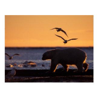 Polar bear at sunrise with glaucous-winged postcard