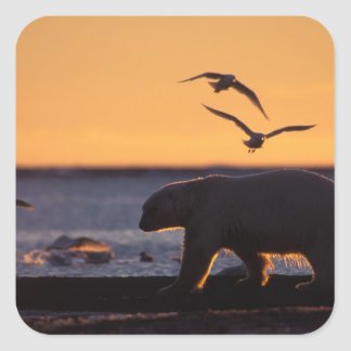 Polar bear at sunrise with glaucous-winged square sticker
