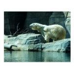 Polar Bear: Berlin Postcard