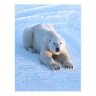 Polar Bear Blue Postcard