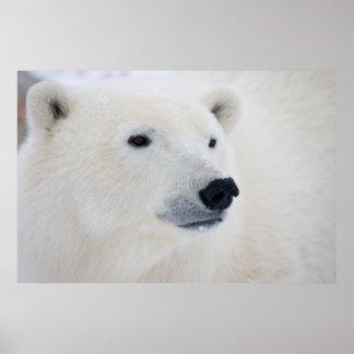 Polar Bear Churchill Poster