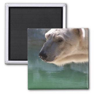 Polar Bear Close Up Portrait 2 Inch Square Magnet
