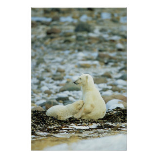 Polar Bear Cub With Mother Poster