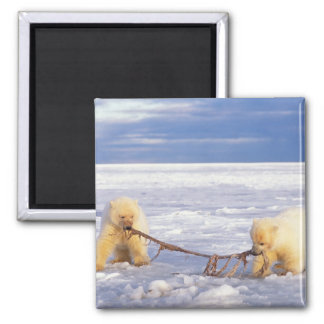 Polar bear cubs and meat on pack ice of frozen magnet