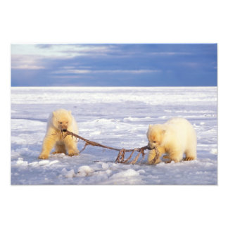 Polar bear cubs and meat on pack ice of frozen art photo