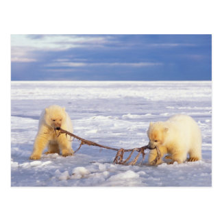 Polar bear cubs and meat on pack ice of frozen postcard