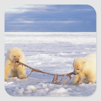 Polar bear cubs and meat on pack ice of frozen square sticker