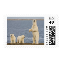Polar bear cubs and their mother postage