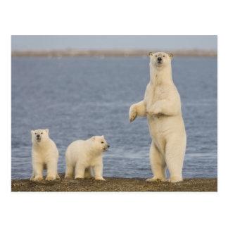Polar bear cubs and their mother postcard