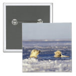 Polar bear cubs playing in pack ice of the pinback button