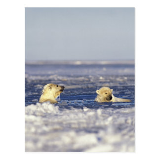 Polar bear cubs playing in pack ice of the postcard