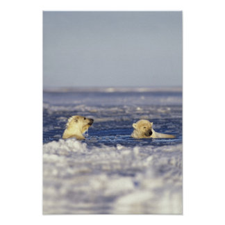 Polar bear cubs playing in pack ice of the posters