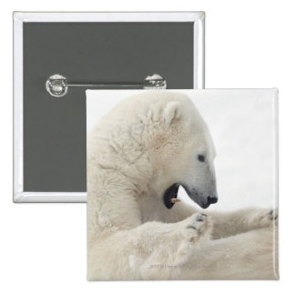 Polar bear engaging in a fight with another bear 2 inch square button