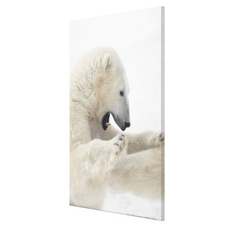 Polar bear engaging in a fight with another bear canvas print