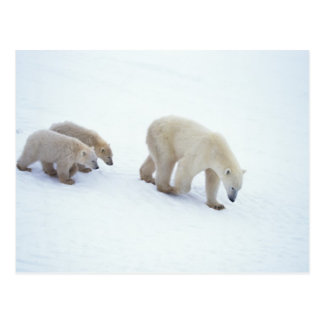 Polar Bear Family Postcard