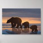 Polar Bear family Posters