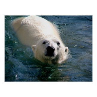 Polar Bear in Water Photography Poster