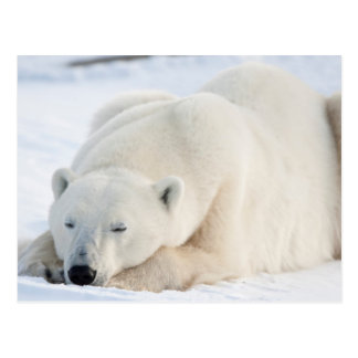 Polar Bear in winter Postcard