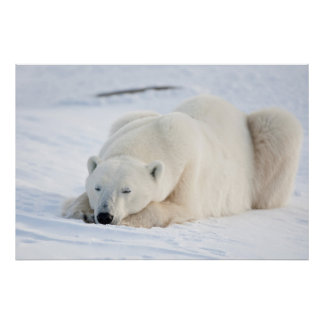 Polar Bear in winter Poster