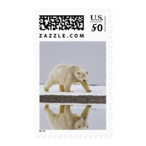 Polar bear is reflected in calm waters 2 postage