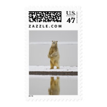 Polar bear is reflected in calm waters postage